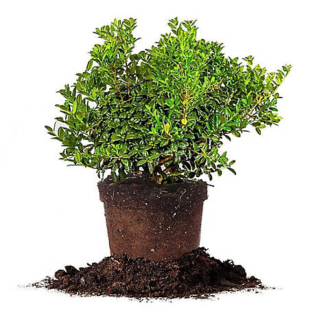 Perfect Plants Dwarf Burford Holly 1 gal. Size, TSC0032