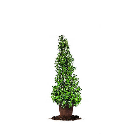 Perfect Plants Oakleaf Holly 1 gal. Size, TSC0038