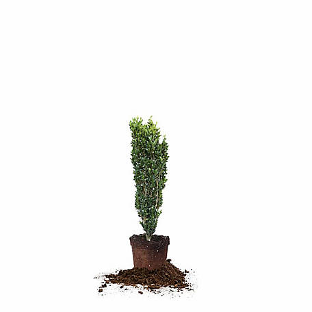 Perfect Plants Sky Pencil Holly 3-4 Foot Size, TSC0045