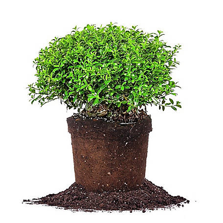 Perfect Plants Soft Touch Holly 1 gal. Size, TSC0046