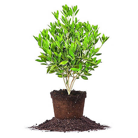 Perfect Plants Ocala Anise, 3 gal. Size, TSC0048