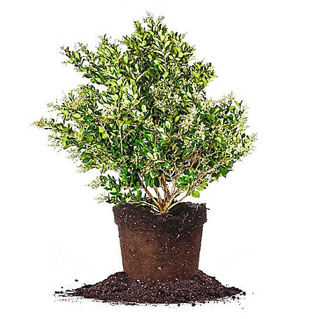 Perfect Plants Wax Leaf Ligustrum 3 gal. Size, TSC0049