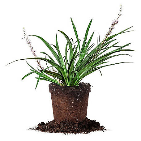 Perfect Plants Super Blue Liriope 1 gal. Size, TSC0050