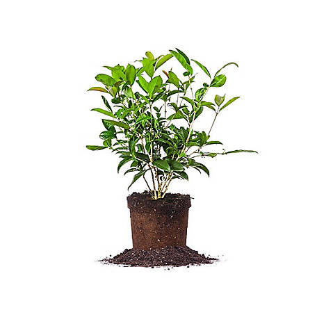 Perfect Plants Tea Olive 1 gal. Size, TSC0059