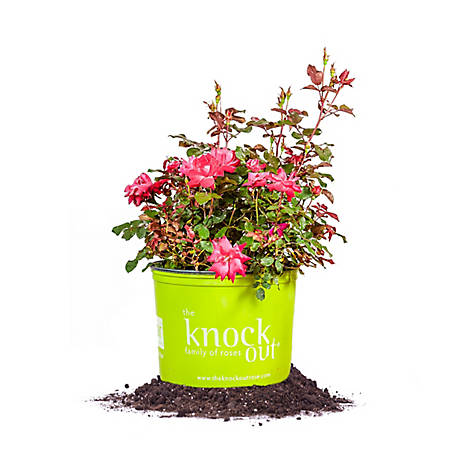 Perfect Plants Double Red Knock Out 3 gal. Size, TSC0064