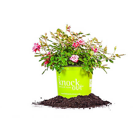 Perfect Plants Double Pink Knock Out 3 gal. Size, TSC0066