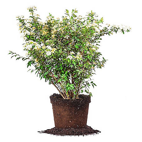 Perfect Plants Bridal Wreath Spirea 3 gal. Size, TSC0086
