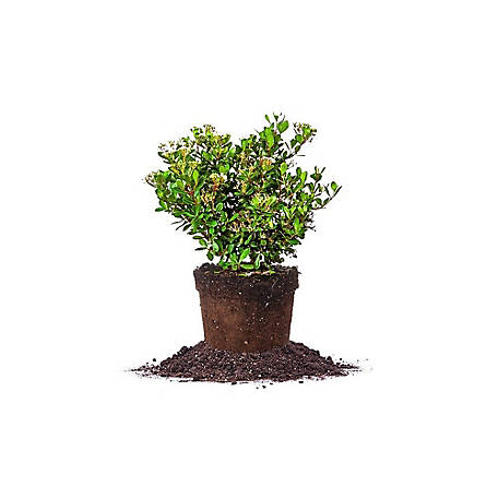 Perfect Plants Mrs. Schillers Delight Viburnum, 1 gal. Size, TSC0087