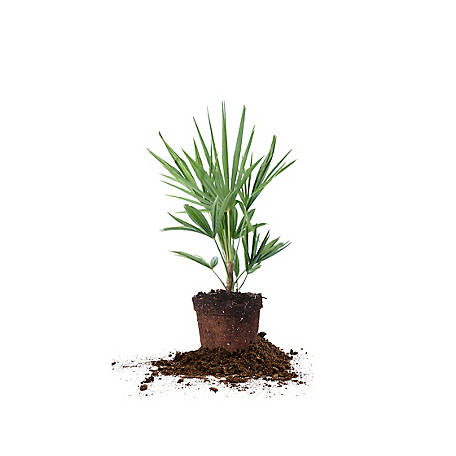 Perfect Plants Windmill Palm 1 gal. Size, TSC0092