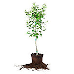 Perfect Plants Anna Apple 5 gal., TSC0094