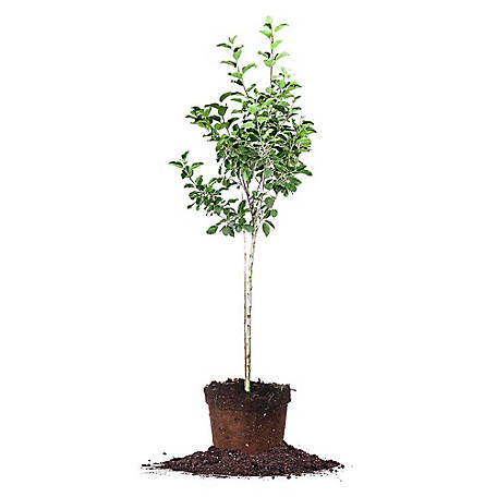 Perfect Plants Dorsett Apple 5 gal. Size, TSC0098