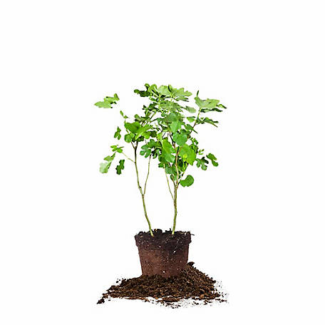Perfect Plants Black Mission Fig 3 gal. Size, TSC0112