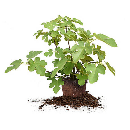 Perfect Plants Chicago Hardy Fig 3 gal. Size, TSC0120
