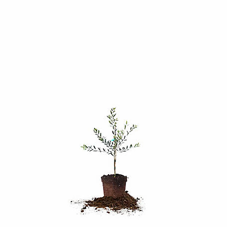 Perfect Plants Arbequina Olive 2-3 ft., TSC0128
