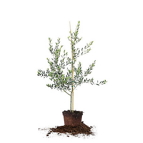 Perfect Plants Arbequina Olive 3-4 ft., TSC0129