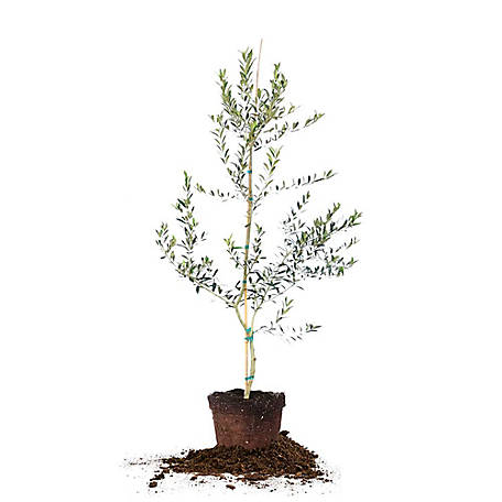 Perfect Plants Arbequina Olive 4-5Ft, TSC0130