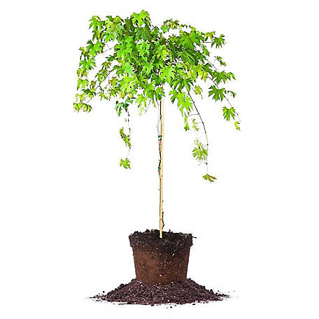 Perfect Plants Southern Home Muscadine 5 gal. Size, TSC0137