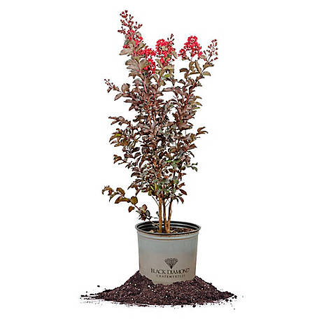 Perfect Plants Black Diamond Best Red Crape Myrtle 3 gal. Size, TSC0146