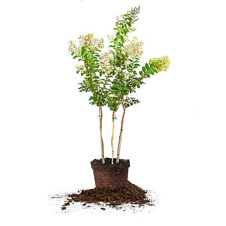 Perfect Plants Natchez Crape Myrtle 5 gal. Size, TSC0150