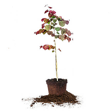 Perfect Plants Forest Pansy Redbud 5 gal. Size, TSC0164