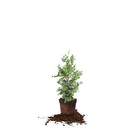 Perfect Plants Thuja Green Giant 2-3 ft. Size, TSC0174