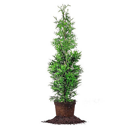 Perfect Plants Thuja Green Giant 3-4 ft. Size, TSC0175