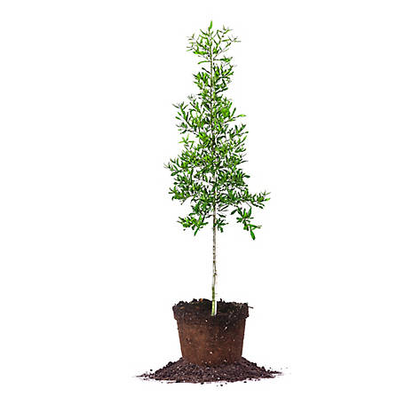 Perfect Plants Willow Oak 5 gal. Size, TSC0178