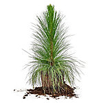Perfect Plants Longleaf Pine, 3 gal. Size, TSC0181