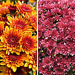 National Plant Network Mum Autumn Splendor Decoration Kit, TSC1118