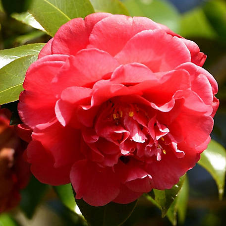 National Plant Network Camellia Curly Lady 2 Piece, TSC1125