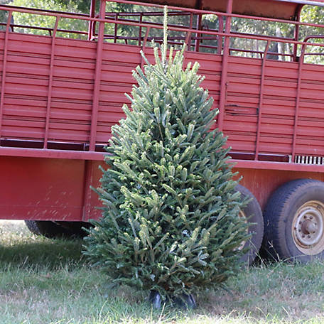 National Plant Network Live Noble Fir 5 ft. Fresh Cut Christmas Tree, TSC9025