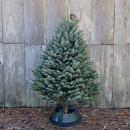 National Plant Network Live Blue Spruce 5 ft. Fresh Cut Christmas Tree, TSC9028