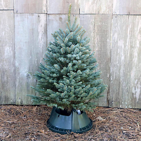 National Plant Network Live Blue Spruce 32 to 42 in. Fresh Cut Christmas Tree, TSC9034