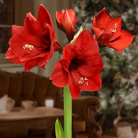National Plant Network Cottage Farms BlooMaker Giant Sugar Plum Waxed Amaryllis, 3 pc., TSC9051