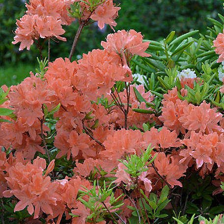National Plant Network Azalea 'Blaauw's Pink', Plant with Purpose, TSC1154