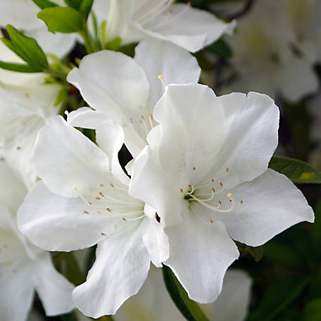 National Plant Network Azalea 'Deleware Valley White', Plant with Purpose, TSC1158
