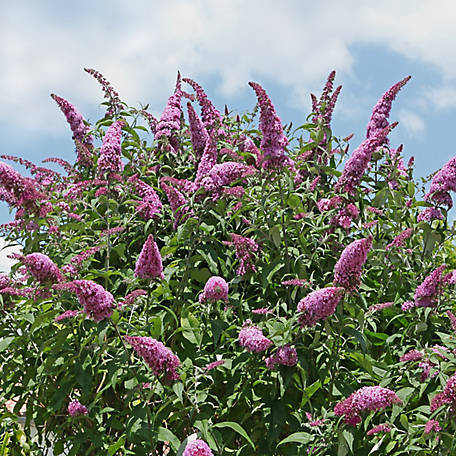 National Plant Network Buddleia 'Pink Delight', Plant with Purpose, TSC1057