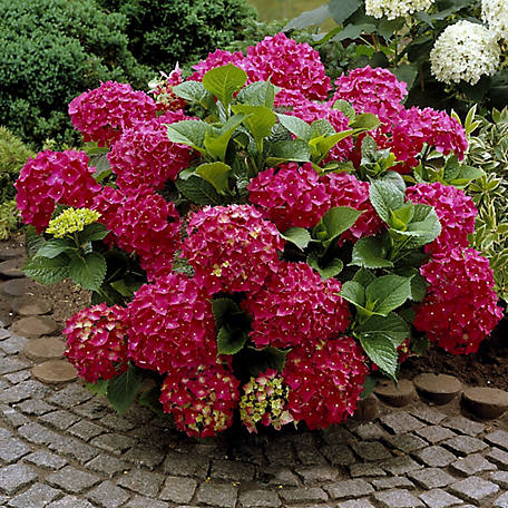 National Plant Network Hydrangea 'Red Beauty', 2 pc., Plant with Purpose, TSC1161
