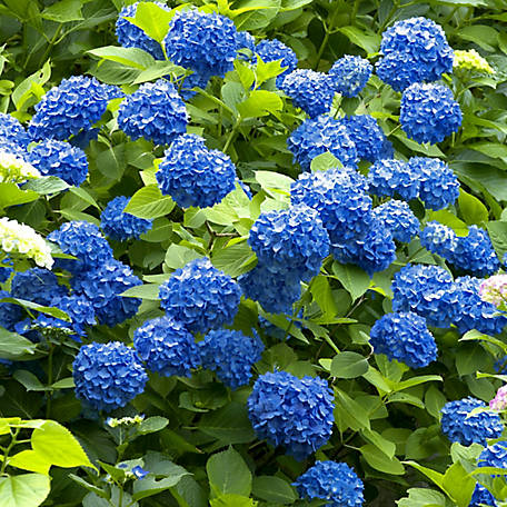 National Plant Network Hydrangea 'Nikko Blue', Plant with Purpose, TSC1073