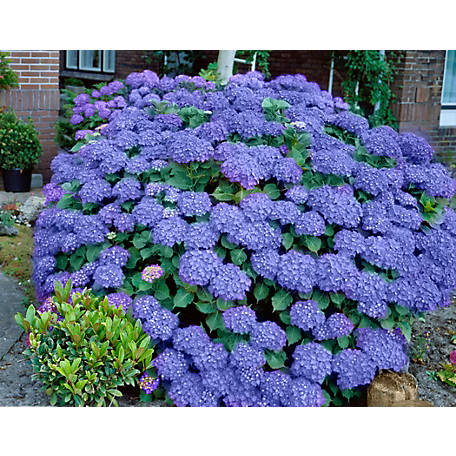 National Plant Network Hydrangea 'Penny Mac', Plant with Purpose, TSC1074