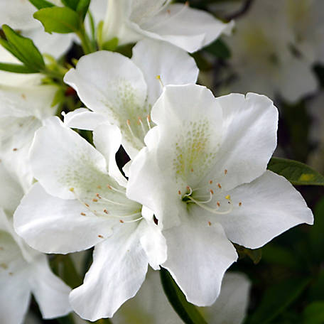 National Plant Network Azalea 'Mrs. G.G. Gerbing', Plant with Purpose, TSC5221