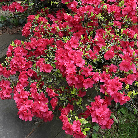 National Plant Network Azalea 'sunglow', Plant with Purpose, 2.25 gal., TSC5226
