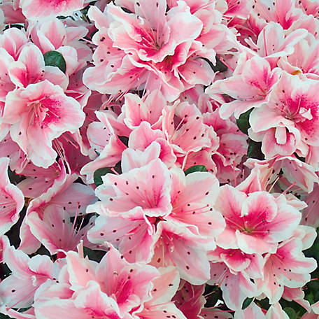 National Plant Network Azalea 'Conversation Piece', Plant with Purpose, 2.25 gal., TSC5239