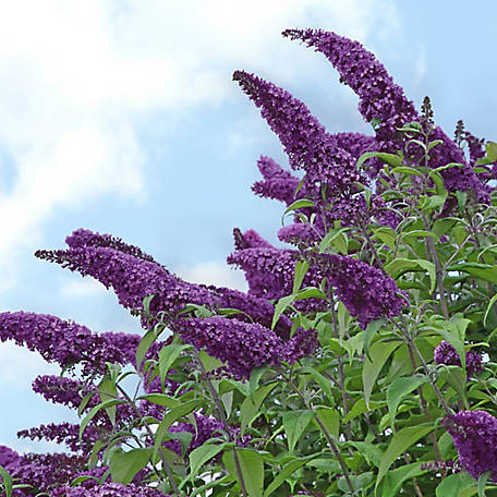 National Plant Network Buddleia 'Black Knight', Plant with Purpose, TSC5088