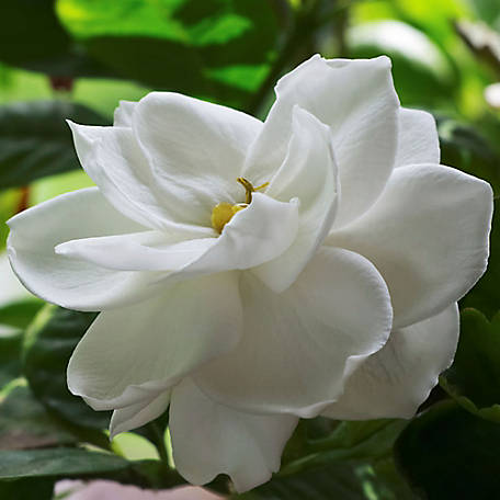 National Plant Network Gardenia 'Radicans', Plant with Purpose, TSC5093