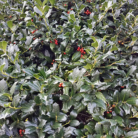 National Plant Network Holly 'Nellie R. Stevens', Plant with Purpose, TSC5252