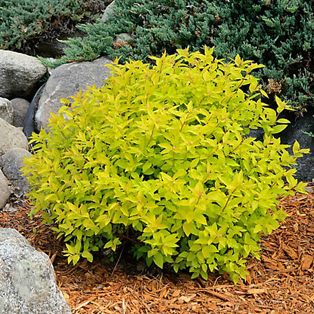 National Plant Network Spirea 'Goldmound', Plant with Purpose, TSC5124