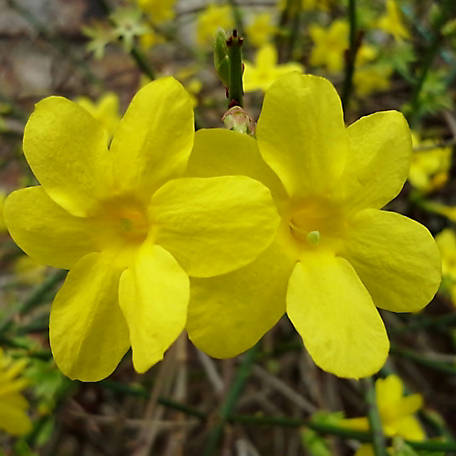 National Plant Network Winter Jasmine, Plant with Purpose, TSC5133