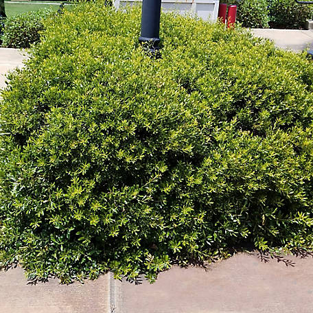 National Plant Network Dwarf Wax Myrtle, Plant with Purpose, TSC5152
