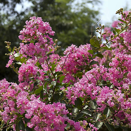 National Plant Network Dwarf Crepe Myrtle 'Pocomoke', Plant with Purpose, TSC5253